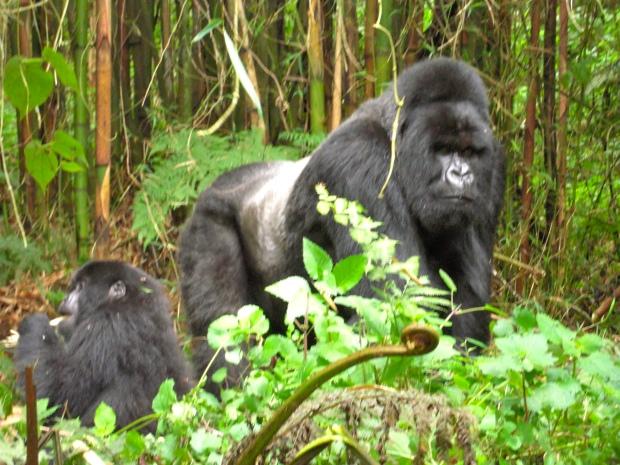 Dad & one of his little ones-Rwanda