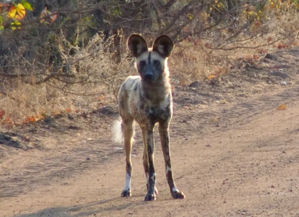 Rare sighting - wild painted dog