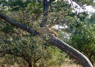 Unusual to see lion in tree