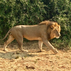 Big 5: Lion