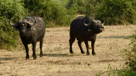 Big 5: Cape Buffalo