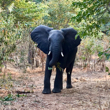 Big 5: Elephant