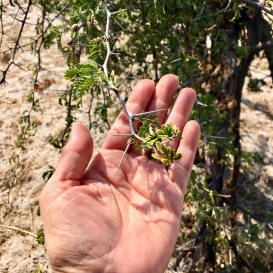 Acacia thorns are sharp!
